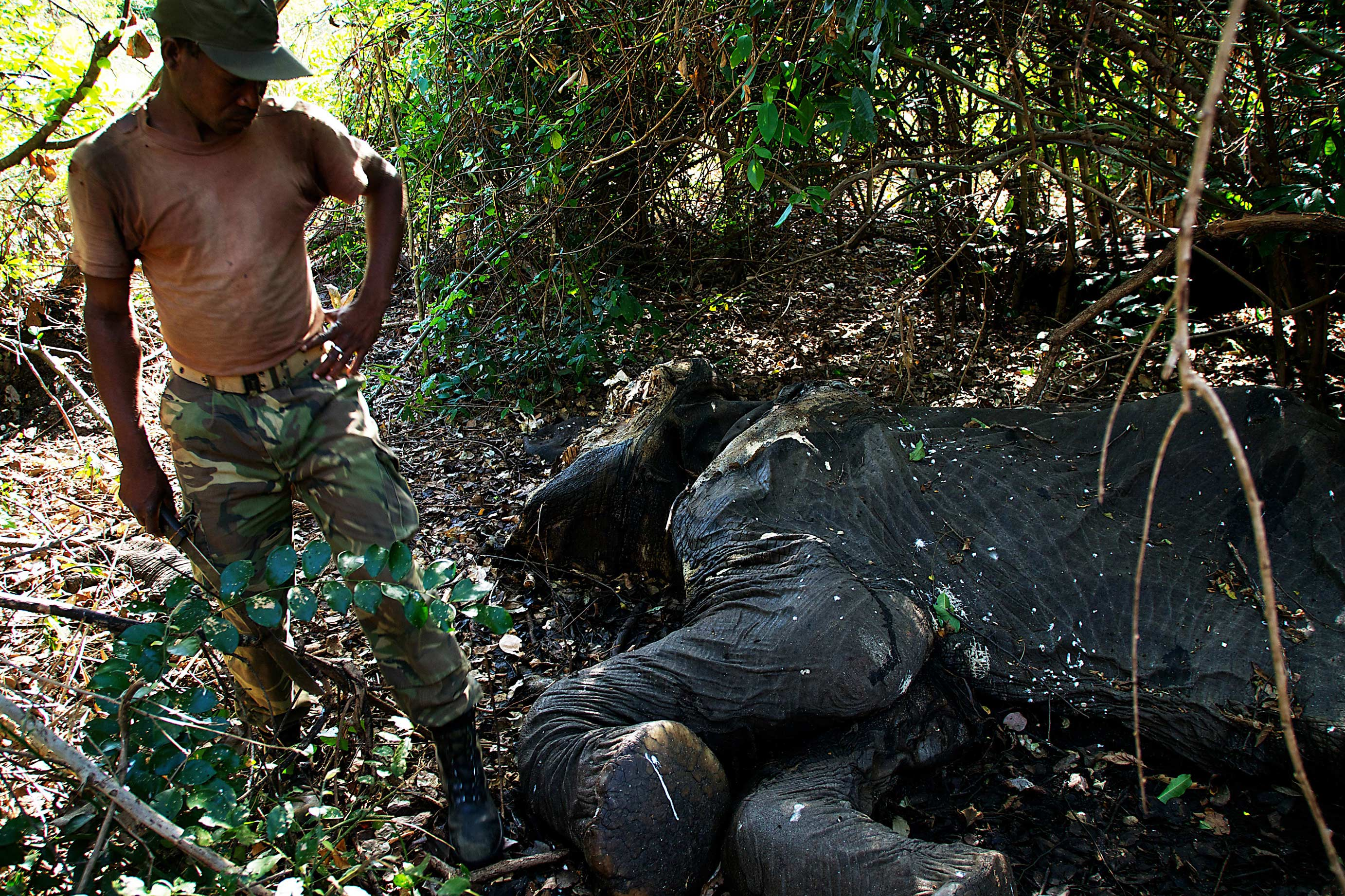 A bull elephant lies dead in the forest. The animal was killed two weeks earlier, when a team of poachers entered the Quirimbas National Park and killed four elephants in two days.